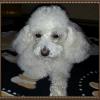 Canelle, chien Caniche