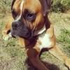 Capitaine, chien Boxer