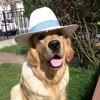 Caramel, chien Golden Retriever