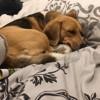 Cassie, chien Beagle
