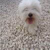 Castillette, chien Coton de Tuléar