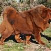 Ch Nasledie Tibeta Dagdan, chien Dogue du Tibet