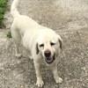 Photo de Champion, chien Labrador Retriever - 406479