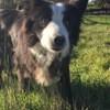 Channa, chien Border Collie