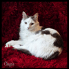 Chappie, chat Angora turc