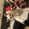 Charlie, chien Chihuahua
