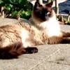 Chat-Carter, chat Birman