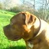 Cheyenne, chien Dogue de Bordeaux