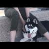 Chien, chien Husky sibérien