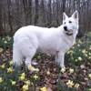 Izzi Du Domaine De Cibeins, chien Berger blanc suisse