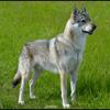 Photo de Jyrkhos De La Louve Blanche, chien Chien-loup tchèque - 405020