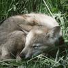 Photo de H'Lica, chien Chien-loup tchèque - 435241