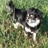 Photo de Oreane, chien Chihuahua - 423072