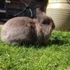 Chipie, rongeur Lapin