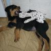 Chouchou, chien Rottweiler