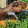 Choupy, rongeur Cochon d'Inde