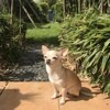 Ciaté, chien Chihuahua