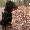 Cléo, chien Rottweiler