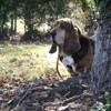 Colombo, chien Basset Hound