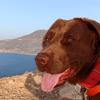 Cookie, chien Labrador Retriever