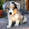 Corazon, chien Berger australien