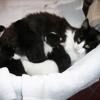 Crembel, chat Angora turc