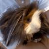 Croquette, rongeur Cochon d'Inde
