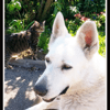Cyrus, chien Berger blanc suisse