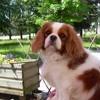 Dehlia, chien Cavalier King Charles Spaniel