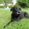 Dena, chien Labrador Retriever