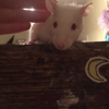 Denver, rongeur Rat