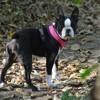 Destiny, chien Terrier de Boston