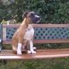 Diablo, chien American Staffordshire Terrier