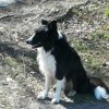 Django, chien Border Collie