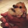 Dodo, rongeur Hamster