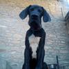 Photo de Outch De La Muse D'Apollon, chiot Dogue allemand - 417881