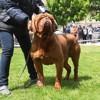 Photo de M-Yuvelir Nostalgie De France, chien Dogue de Bordeaux - 423897
