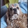 Dolce, chien Cocker américain