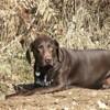 Dolly, chien Braque allemand à poil court