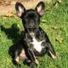 Doly, chien Bouledogue français