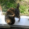 Dona, chat Japanese Bobtail