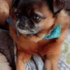 Dora, chien Petit brabançon