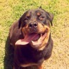 Dorka, chien Rottweiler