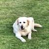 Douglas, chien Labrador Retriever