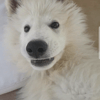 Drook, chien Berger blanc suisse