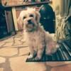 Droopynette, chien Bichon havanais