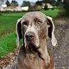 Duchesse, chien Braque de Weimar