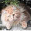 Photo de Duchesse, chat Angora turc - 408889