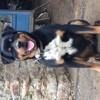 été, chien Rottweiler