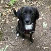 Effy, chien Beagle